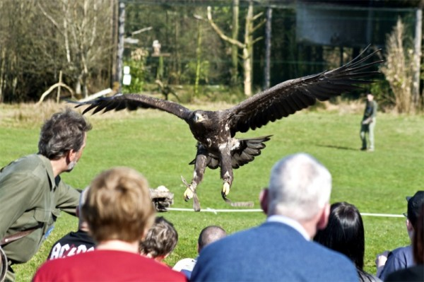 eagles flying in front of a crowd