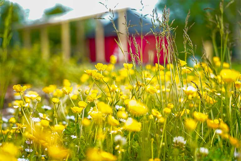 close up of buttercups with yurt in the background